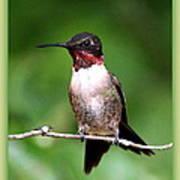 Hummingbird - Male - Will Soon Be Grown Art Print