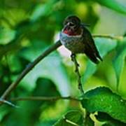 Hummingbird At Rest Art Print