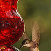 Hummingbird At The Feeder Art Print