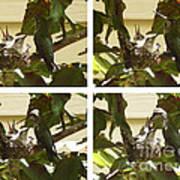 Hummingbird Mother Feeding Her Two Babies Art Print