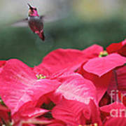 Hummingbird Over Poinsettias Art Print