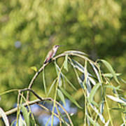 Hummingbird Resting In The Willow Art Print