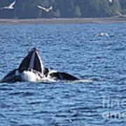 Hump Back Whale In Alaska Art Print