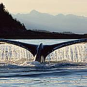 Humpback Whale Megaptera Novaeangliae Art Print
