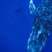 Humpback Whale Singer And Joiner Maui Art Print