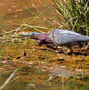 Hunting Green Heron - C9822b Art Print