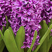 Hyacinth Hyacinthus Sp Miss Saigon Art Print