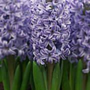 Hyacinth Hyacinthus Sp Skyline Variety Art Print