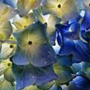 Hydrangea Close-up Art Print