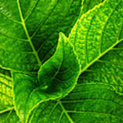 Hydrangea Leaves Art Print