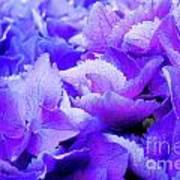 Hydrangea Petals Art Print