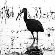 Ibis Pintail Drive Cameron Prairie Nwr Art Print