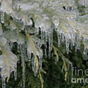 Ice-coated Arborvitae Art Print