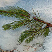 Ice Crystals And Pine Needles Art Print