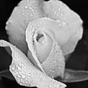 Iceberg Rose Art Print