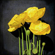 Iceland Yellow Poppies Art Print by Paul Grand Image