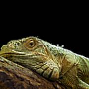Iguana Art Print by Jane Rix