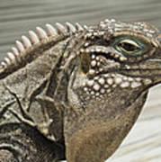 Iguana Two Art Print