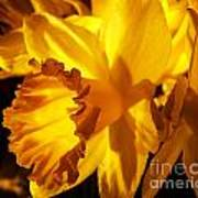 Illuminated Daffodil Photograph Art Print