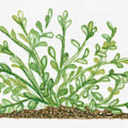 Illustration Of Bacopa (waterhyssop) Bearing Succulent Oblanceolate Green Leaves On Creeping Stems Art Print