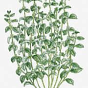 Illustration Of Marrubium Vulgare (white Horehound) Bearing Clusters Of White Flowers And Grey-green Leaves On Tall Stems Art Print