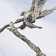 Immature Eagle At Play Art Print