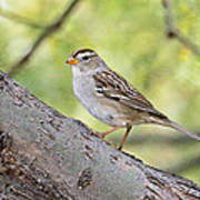 Immature White-crowned Sparrow  Art Print