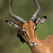 Impala Aepyceros Melampus Buck Africa Art Print