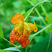 Impatiens Capensis - Orange Spotted Jewelweed Art Print