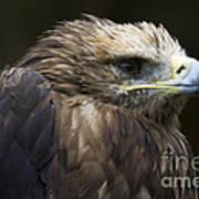 Imperial Eagle 4 Art Print