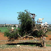 In Morocco Goats Grow On Trees Art Print