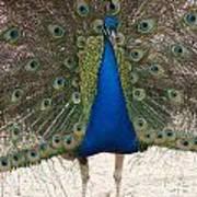 Indian Blue Art Print
