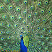 Indian Peafowl Pavo Cristatus Male Art Print