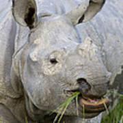 Indian Rhinoceros Grazing Kaziranga Art Print