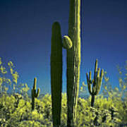 Infrared Saguaro 1 Art Print
