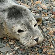 Injured Harbor Seal Art Print