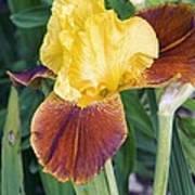 Iris 'all That Jazz' Art Print