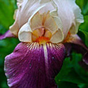 Iris Finery Art Print