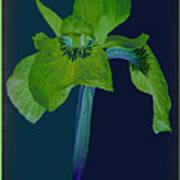 Iris Flower Design Art Print