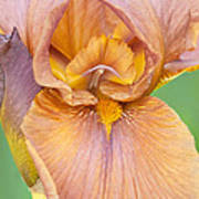 Iris In Gold  Art Print