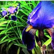 Iris Art Print by Kevyn Bashore