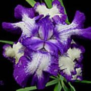 Iris Unfolded Art Print