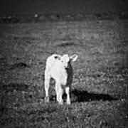 Irish Lone Calf In A Field Art Print