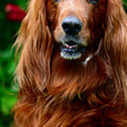 Irish Setter I Art Print by Jenny Rainbow
