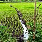 Irrigated Rice Field Art Print
