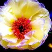 Italian Rose Art Print