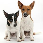 Jack Russell Terrier Dog, Rockie Art Print