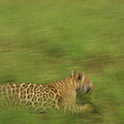 Jaguar Panthera Onca Running Art Print