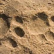 Jaguar Tracks Print by Tony Camacho