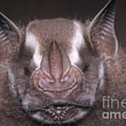 Jamaican Fruit Bat Art Print
